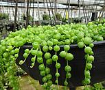 콩선인장-녹영 장구완성화분대품 - 선인장 다육|