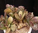아드레미쳐스하프코트522-5|Adromischus Hemisphaericus