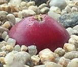 부르게리20립|Conophytum burgeri