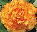 수입목단4~5년생/믹스칼라 겹꽃 목단 Kinkaku 깅가꾸 /Paeonia x lemoinei 종간 교잡육종[파격할인]|