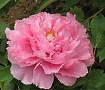 수입목단4~5년생/러블리핑크 목단/겹꽃/Pink Lotus 핑크로투스[파격할인] Echeveria Lovely
