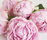 수입목단4~5년생/핑크겹꽃 Peach Blossom 피치블라섬[파격할인]|