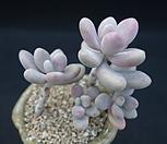 아메치스 522|Graptopetalum amethystinum
