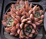 콜로라타교배(3-4두)|Echeveria colorata
