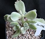 웅동자금,2-176|Cotyledon tomentosa ssptomentosa