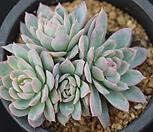 바이올렛퀸군생-p1|Echeveria Violet Queen