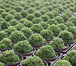 옵투사(따글묵은아이)-특가판매|Haworthia cymbiformis var. obtusa