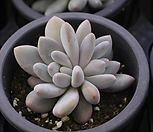 후레뉴(자연군생)|Pachyphtum cv Frevel