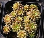 리틀쨈금|X Cremnosedum Little Gem (Crassulaceae)