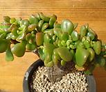구미무철화9347|Echeveria spectabilis