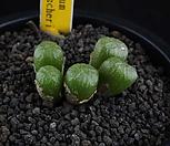 XP703-Conophytum ectipum var. tischeri  티세리 5두|