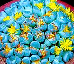 리톱스 올리바시아 믹스 씨앗 (30립) /리톱스씨앗 Lithops