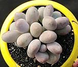 복숭아미인|Pachyphytum cv mombuin
