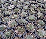 원종필리페럼(랜덤)|Graptopetalum filiferum