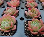 바손아이스(랜덤) Echeveria agavoides sp