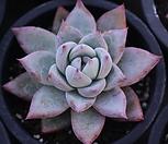 야생콜로라타|Echeveria colorata