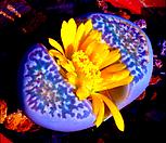 리톱스 나우리니에(c304) 씨앗 (30립) /리톱스씨앗|
