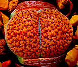 보석 박힌 리톱스 베루쿨로사 믹스 씨앗 (30립) /리톱스씨앗|