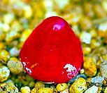 코노피튬 브루게리 씨앗 (10립) /리톱스씨앗|