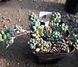 11/28미크로칼릭스18|Echeveria amoena Microcalyx