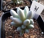 11/28베이비핑거31|Pachyphytum Machucae (baby finger)