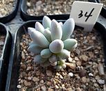 11/28베이비핑거34|Pachyphytum Machucae (baby finger)