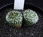 XP825-Conophytum ursprungianum 안진(安珍) 2두|