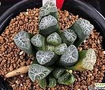 XP859-Y13 X 3 야마모또(山本)만상 컷트묘|Haworthia maughanii