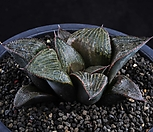 XP863-Haworthia splendens 스프렌덴스|