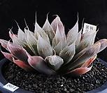 XP864-Haworthia leightonii 紫皇帝 자황제|
