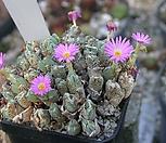 conophytum chauviniae (10립)|