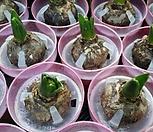 히야신스(수경)-알뿌리식물 