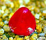 1.코노피튬 브루게리 씨앗 (10립) /리톱스씨앗|Conophytum