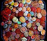 1.리톱스 믹스 씨앗(100립)-280여종이 섞여 있어요/리톱스씨앗|Lithops