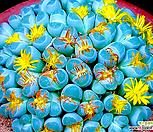 1.리톱스 올리바시아 믹스 씨앗 (30립) /리톱스씨앗|Lithops