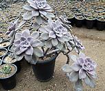 12/22퍼플딜라이트1|Graptopetalum Purple Delight