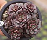 롱기시마(자연군생) 1222-40|Echeveria longissima