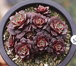 롱기시마(자연군생) 1222-41|Echeveria longissima