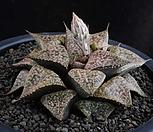 XP965-픽타 컷트묘 (ピクター)|Haworthia picta