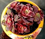 롱기시마 5두군생-82|Echeveria longissima