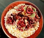원종롱기시마 9두군생-46|Echeveria longissima