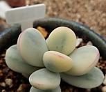 방울복랑금_20 Cotyledon orbiculata cv variegated