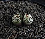 XP978-Conophytum wittebergense RR714   위트버젠스  2두|Conophytum Wittebergense