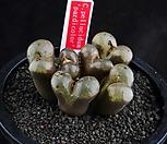 XP980-Conophytum pellucidum padiocolor 파디오칼라 6두|