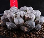 하월시아 XP1018-대형 자옵투사 紫Obtusa 실생|Haworthia var. obtusa(purple)