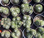 1/10거미줄바위솔(랜덤)|Sempervivum arachnoideum tomentosum