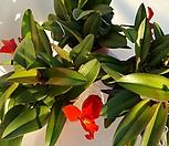 꽃대많은 미니 카틀레야 레드돌|