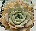 플뢰르블랑코862(1월)|Echeveria Fleur Blanc