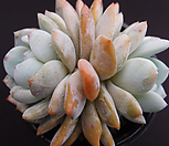 오렌지먼로(묵은)|Echeveria Monroe(Orange)