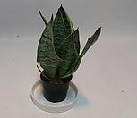 산세베리아 슈퍼바(소) /수퍼바/산세베리아/스투키/공기정화에 탁월한 고급스런 식물|